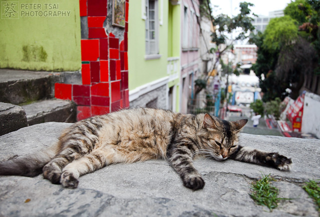feral cat in rio