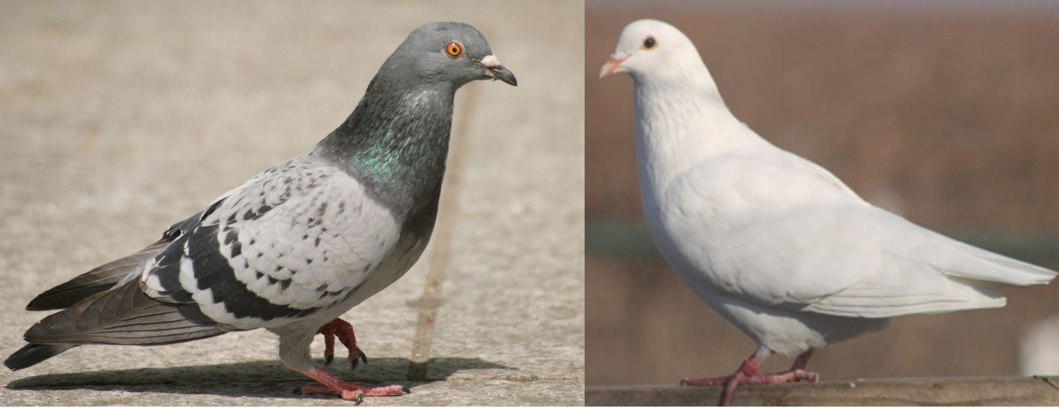 an experiment on pigeons and duration discrimination Affected the pigeons' discrimination of line duration,  execute the experiments, says the results show pigeons process space and time in ways similar to  pigeons can discriminate both space.